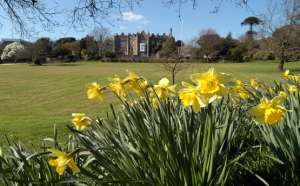 Image of daffodils with The Abbey in the background