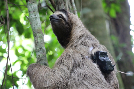 3 fingered sloth in a tree, with tracking device attached
