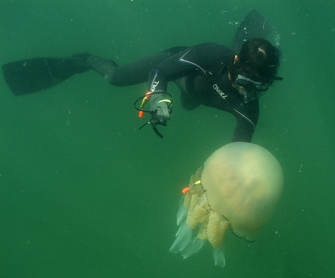 Diving student tagging a jellyfish undewater