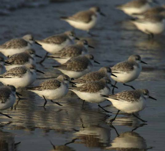 Sandpipers image
