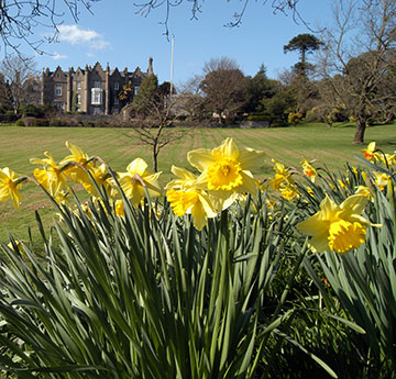 Singleton abbey and daffodils