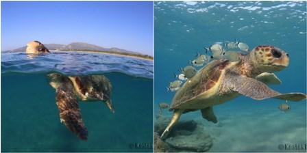 Sea turtles (credit Kostas Papafitsoros).