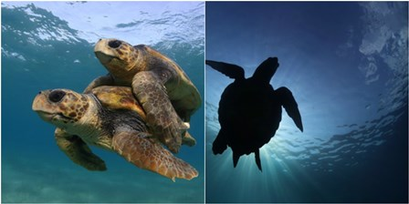 Sea turtles (credit Kostas Papafitsoros).