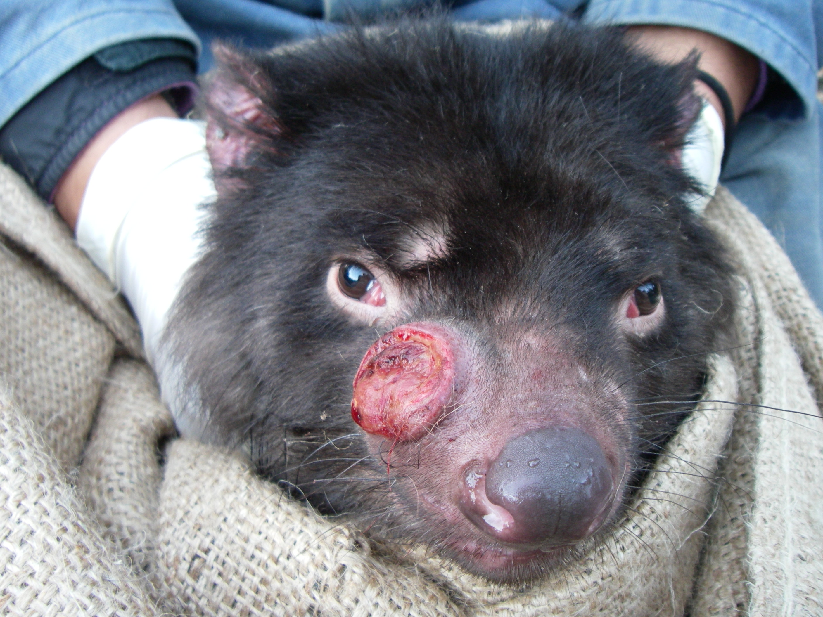 A Tasmanian devil with a cancerous tumour.