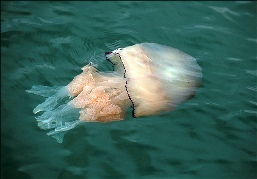JELLYFISH - BARREL JELLYFISH