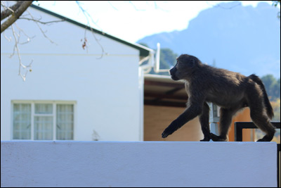 Baboons2