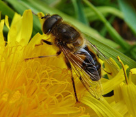 Hoverfly Eristalis pertinax Kevin Bandage