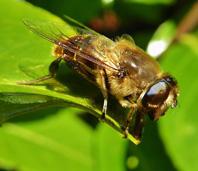 Hoverfly Eristalis Tenax 2 Kevin Bandage