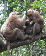 Female macaque interaction