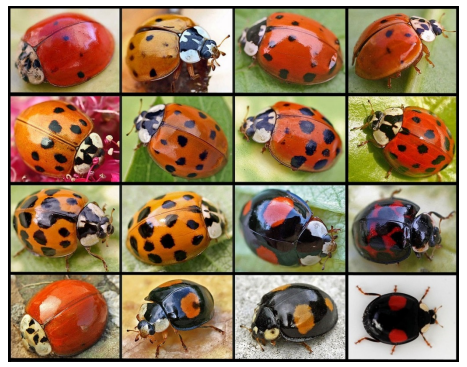 Several images of Harlequin Ladybirds
