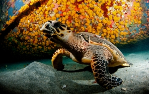 Hawksbill turtles 2 courtesy of Frogfish Photography