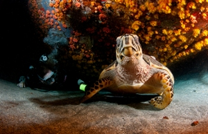 Hawksbill turtles courtesy of Frogfish Photography