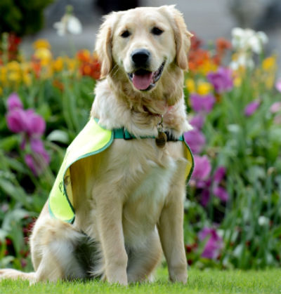 New Technology To Detect Stress In Guide Dogs