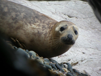 Juvenile grey seal