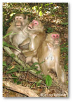 Female Macaques 1
