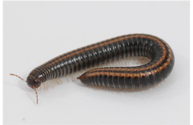 Picture of a Striped Millipede