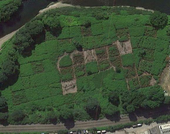 Japanese knotweed aerial shot