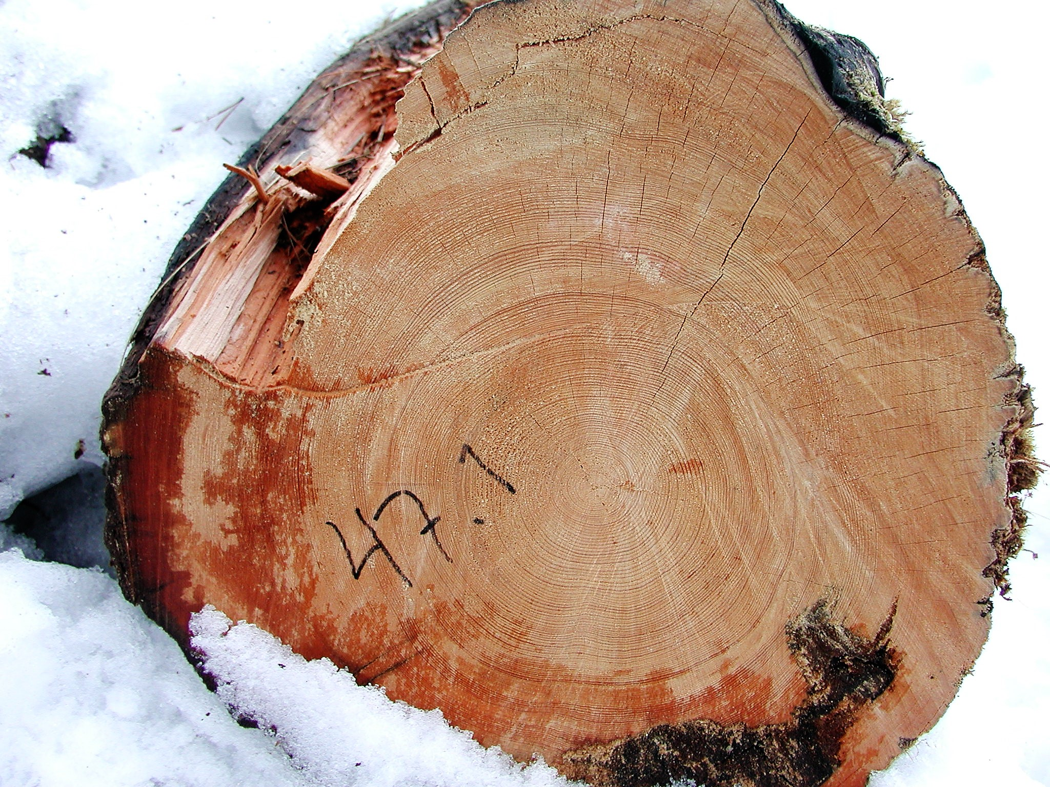 The preserved rings of a pine tree, that started growing in 1369 and fell into a