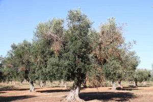 An olive tree affected by Xylella fastidiosa, with visual symptoms of chlorosis