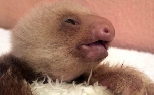 Baby sloth with malformed jaw