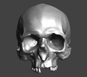 3D image of Mary Rose skull