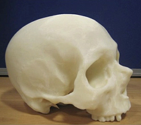 3D print of Mary Rose skull
