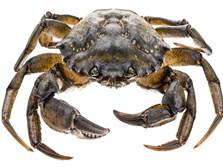 Common European shore crab - parasites hosted by this species pose a threat to shellfish, research shows