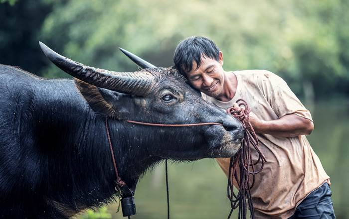 Man embracing a cow. A new study by Swansea University has examined the connection between domesticated animals and the way viruses spread between humans and wildlife.