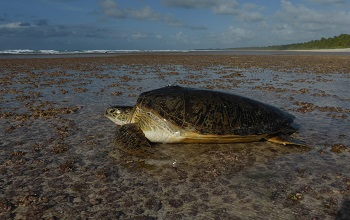 Wonders of animal migration: how sea turtles find small, isolated islands