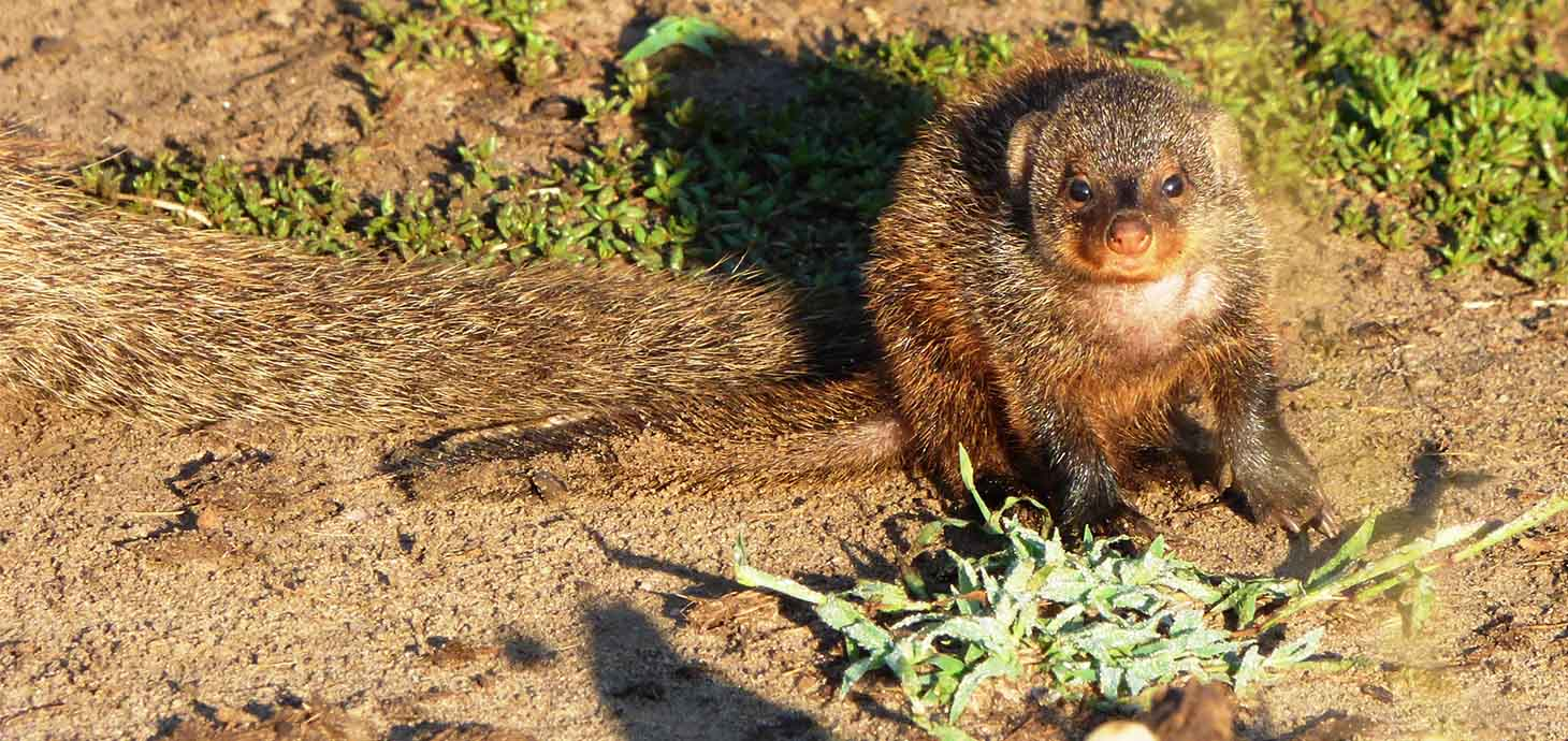 Study shows inbreeding reduces cooperation in banded mongooses
