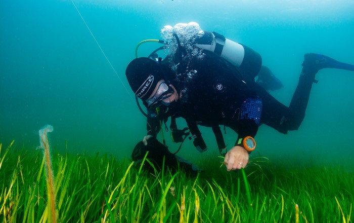 One million seeds to be planted in UK's biggest seagrass restoration scheme