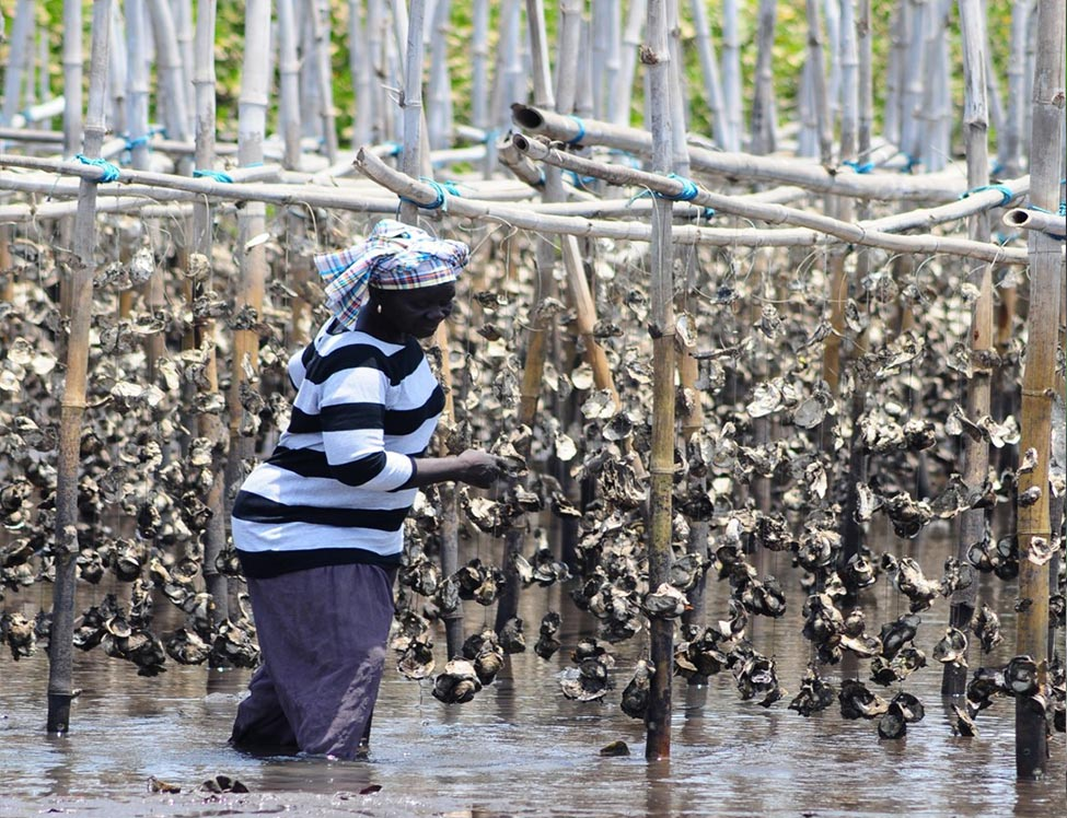Woman in the Gambia working withmangroves