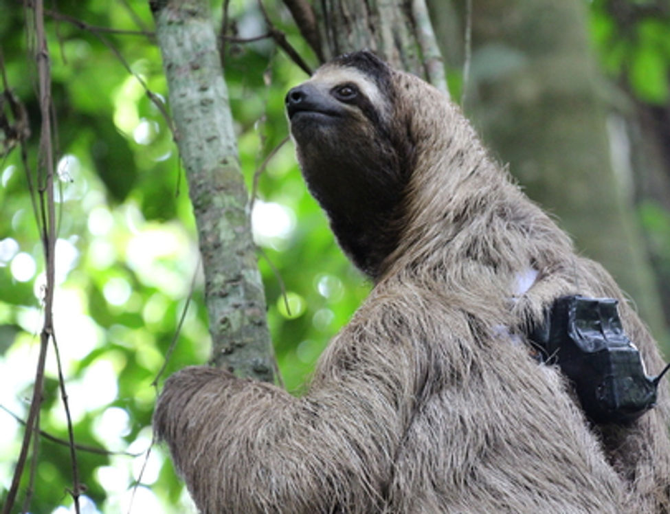 A sloth with a tracker on its back